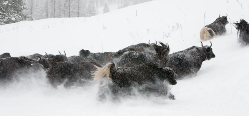 yak-cows-snow-valerie-mcintyre