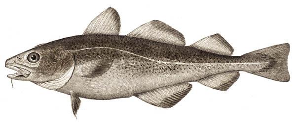 Atlantic_cod