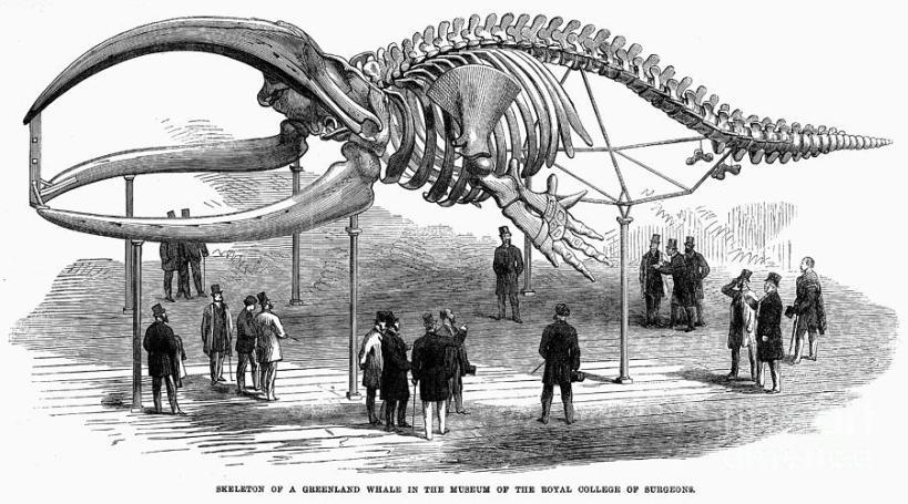 whale-skeleton-1866-granger